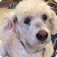 Poodle (Miniature)/Basset Hound Mix Dog for adoption in Melbourne, Florida - HEIDI BEE
