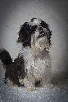 Shih Tzu Dog for adoption in Davie, Florida - Bobby James