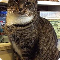 Domestic Shorthair Cat for adoption in Breinigsville, Pennsylvania - Kashi