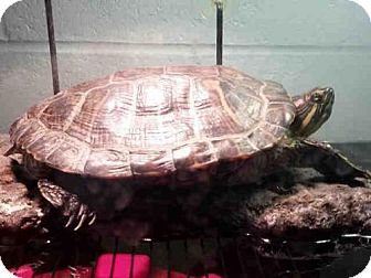 Turtle - Other for adoption in Pittsburgh, Pennsylvania - ANNE