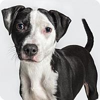 Labrador Retriever Mix Dog for adoption in Seattle, Washington - Moo