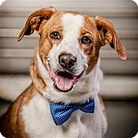 Adopt A Pet :: Gomer - Concord, NC