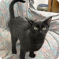 Domestic Shorthair Cat for adoption in Stuart, Virginia - Chanel