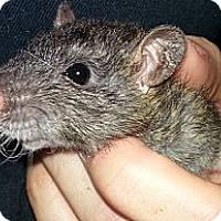 Adopt A Pet :: Agouti Hood Rex - Lakewood, WA