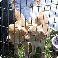 Adopt A Pet :: Reeses - Cumming, GA