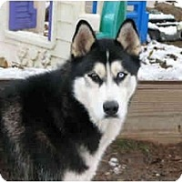 Adopt A Pet :: Brutus - Belleville, MI