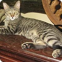 Domestic Shorthair Cat for adoption in Oviedo, Florida - Gardner