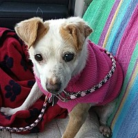 Chihuahua Mix Dog for adoption in Harrisburg, Pennsylvania - Contessa
