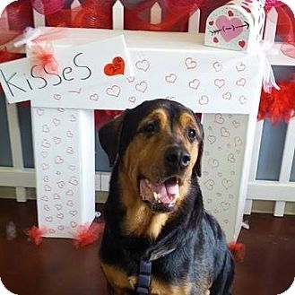 Rottweiler Mix Dog for adoption in Ft. Collins, Colorado - Beauregard