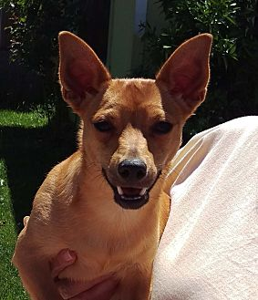 Dachshund/Chihuahua Mix Puppy for adoption in Walnut Creek, California - Donny