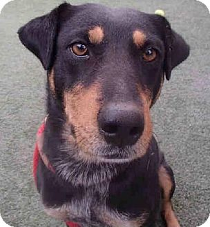 Doberman Pinscher/Rottweiler Mix Dog for adoption in Tucson, Arizona - Sassy