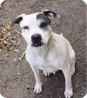 American Pit Bull Terrier Mix Dog for adoption in Saginaw, Michigan - Boo
