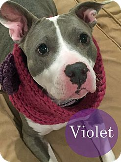 American Staffordshire Terrier Dog for adoption in Cherry Hill, New Jersey - Violet