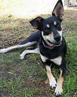 Terrier (Unknown Type, Medium)/Rat Terrier Mix Dog for adoption in Lithia, Florida - FARAH-15 Hollywood, FL