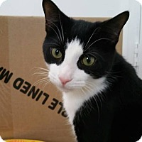 Domestic Shorthair Cat for adoption in New Smyrna Beach, Florida - OREO (Located in Cocoa, FL)