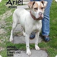 Adopt A Pet :: Ariel - Lancaster, PA