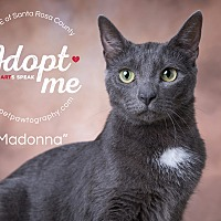 Domestic Shorthair Cat for adoption in Navarre, Florida - Madonna