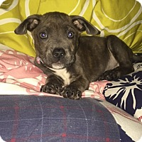 Pit Bull Terrier Mix Puppy for adoption in Seattle, Washington - Molly