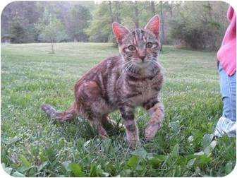 Domestic Shorthair Cat for adoption in Vienna, Virginia - Female Young Cat