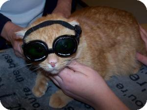 Domestic Shorthair Cat for adoption in Gilbert, Arizona - Lucky
