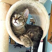 Domestic Shorthair Kitten for adoption in Arlington/Ft Worth, Texas - Hamlet