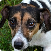 Beagle/Rat Terrier Mix Dog for adoption in Terre Haute, Indiana - Tillie