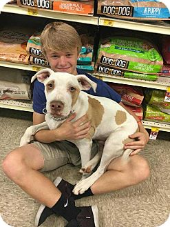 Pit Bull Terrier Mix Dog for adoption in Broken Arrow, Oklahoma - Louie