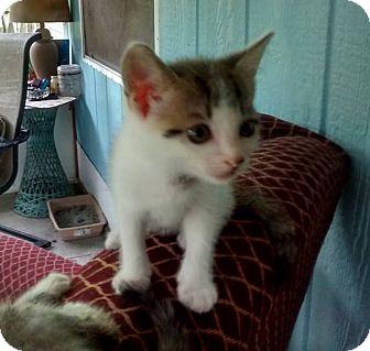 Domestic Mediumhair Kitten for adoption in Jacksonville, Florida - Milky Way