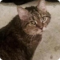 Domestic Shorthair Cat for adoption in Harrisonburg, Virginia - SweetPea