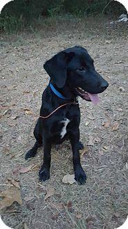 Labrador Retriever Mix Puppy for adoption in Matawan, New Jersey - Jax (adoption pending)