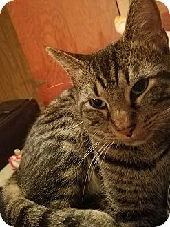 Domestic Shorthair Cat for adoption in Jerseyville, Illinois - Apollo