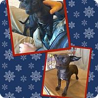 Adopt A Pet :: Midnight - Scottsdale, AZ