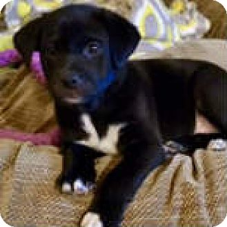 Labrador Retriever/Pit Bull Terrier Mix Puppy for adoption in Flower Mound, Texas - Judy
