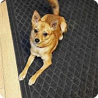 Pomeranian/Chihuahua Mix Dog for adoption in Berwick, Pennsylvania - Foxy
