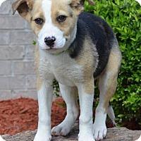 Adopt A Pet :: Dancer - Little Rock, AR