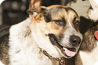 Australian Shepherd/Shepherd (Unknown Type) Mix Dog for adoption in hollywood, Florida - Pancho and suzi