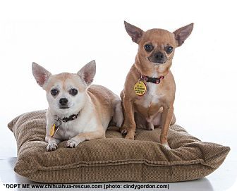 Chihuahua Mix Dog for adoption in Dallas, Texas - Honey and CoCo
