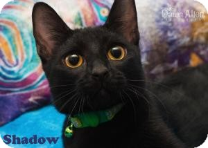 Domestic Shorthair Cat for adoption in Mesa, Arizona - Shadow