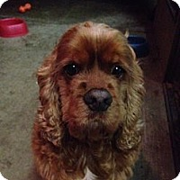 Adopt A Pet :: SCOOTER - Tacoma, WA