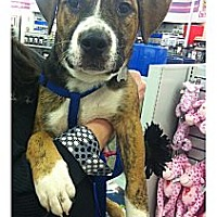 Adopt A Pet :: Tango - Louisville, KY