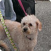 Adopt A Pet :: Chanel - Santa Monica, CA