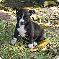 Adopt A Pet :: Joy - La Habra Heights, CA