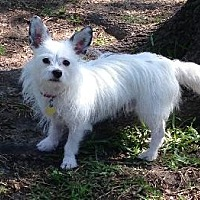 Westie, West Highland White Terrier Mix Dog for adoption in Richardson, Texas - Henry