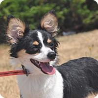 Adopt A Pet :: Wiggles - Tumwater, WA