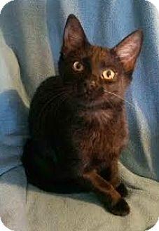 Domestic Shorthair Kitten for adoption in Attalla, Alabama - Ebony