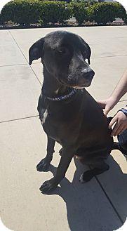Labrador Retriever Mix Puppy for adoption in Fresno, California - Kai
