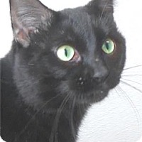 Domestic Shorthair Cat for adoption in Waupaca, Wisconsin - Howler