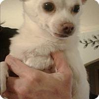 Chihuahua Mix Dog for adoption in Rockford, Illinois - Tiny