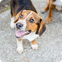 Adopt A Pet :: Bailey - Elkton, FL