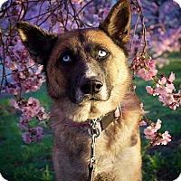 German Shepherd Dog/Siberian Husky Mix Dog for adoption in Pennington, New Jersey - Ava